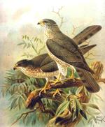 Accipiter brevipes, Naumann